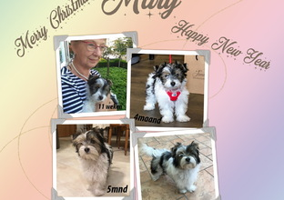 Biewer yorkshire terrier Mary