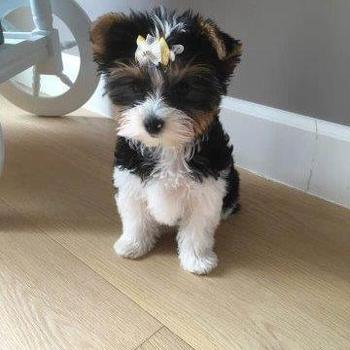 Biewer yorkshire terrier Paris