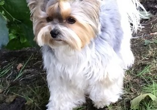 Biewer yorkshire terrier Didi