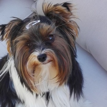 Biewer yorkshire terrier Bieke