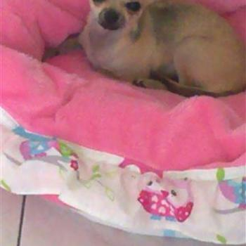 Chihuahua Lilly
