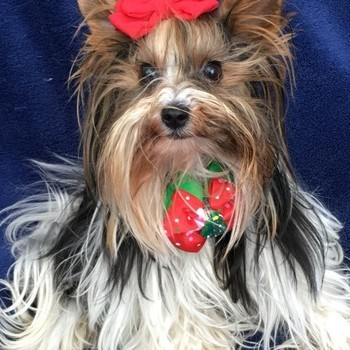 Biewer yorkshire terrier Zena