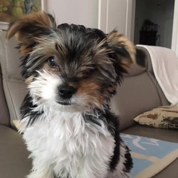 Biewer yorkshire terrier Pinky