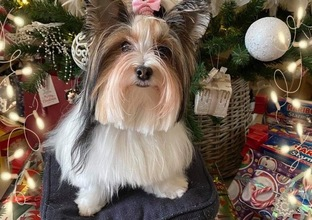 Biewer yorkshire terrier Luna