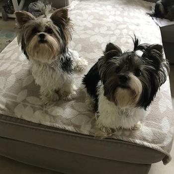 Biewer yorkshire terrier Jennel en Noukie