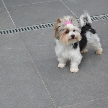 Biewer yorkshire terrier Vito