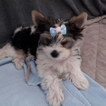 Biewer yorkshire terrier Nina