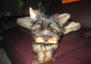 Yorkshire terrier Pico