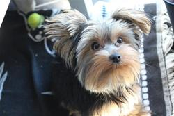 Yorkshire Terrier Thamani