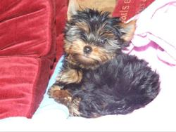Yorkshire terrier Angel
