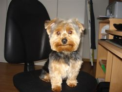 Yorkshire terrier Boya