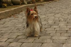 Biewer Yorkshire Terrier Bicky