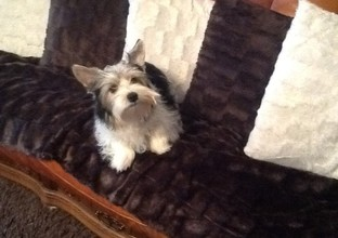 Biewer Yorkshire Terrier Florke