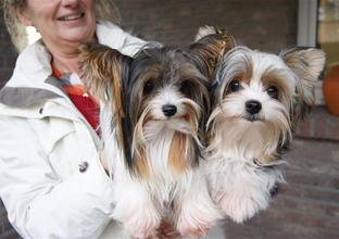 Biewer Yorkshire Terriers Lady en Bijoe