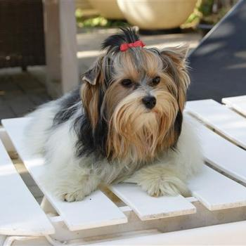 Biewer Yorkshire Terrier Robin