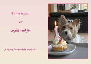 Biewer yorkshire terrier Marie